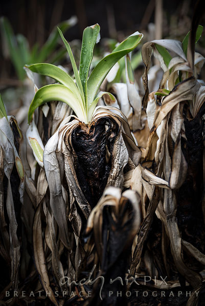 Agapanthus plants regrowth after fire