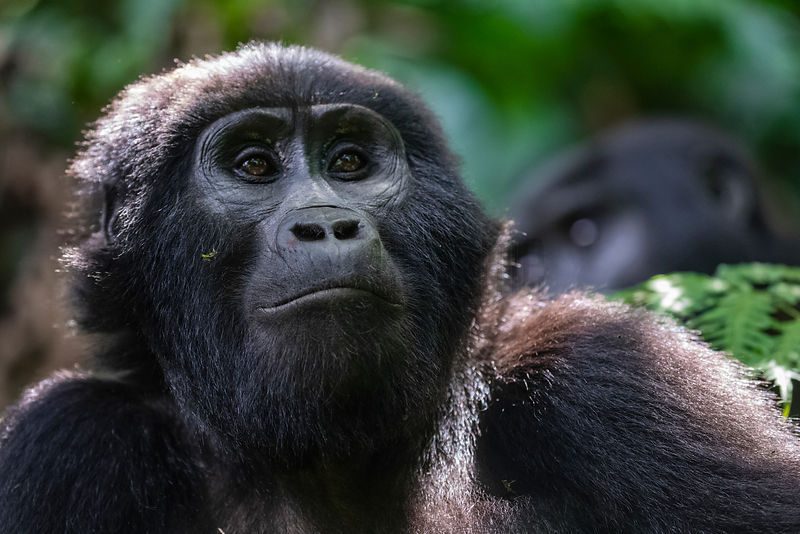Portrait of a Mountain Gorilla