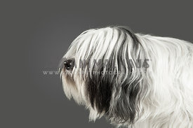 black and white long haired tibetan terrier looking left with mouth closed on a gray background