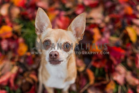 Chihuahua in pile of fall leaves