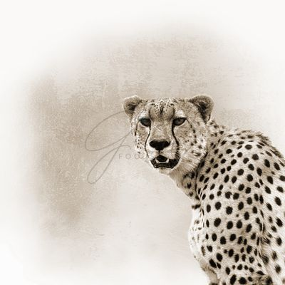 Cheetah Sepia Closeup Square