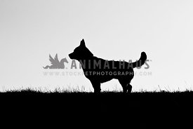 Silhouette of large chested dog