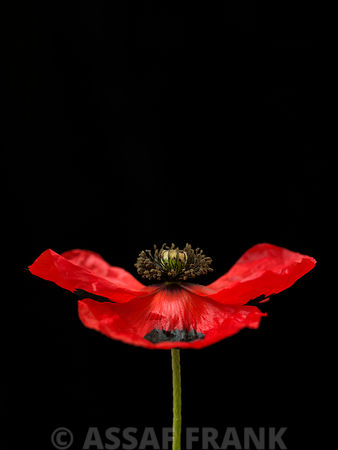 Red poppy, close-up