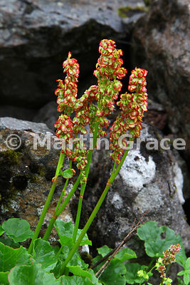 Mountain Sorrel (Oxyria digyna), West Fjords, Iceland