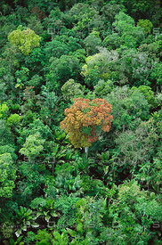 Emergent Tree in Amazon Rainforest Brazil