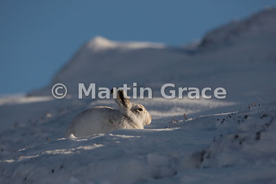 Mountain Hare (Arctic Hare) (Lepus timidus) in snow, with a tiny piece of Heather (Calluna vulgaris) stem protruding from its...