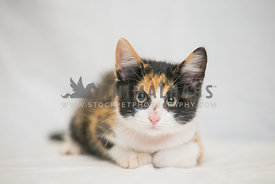 Calico kitten on white background