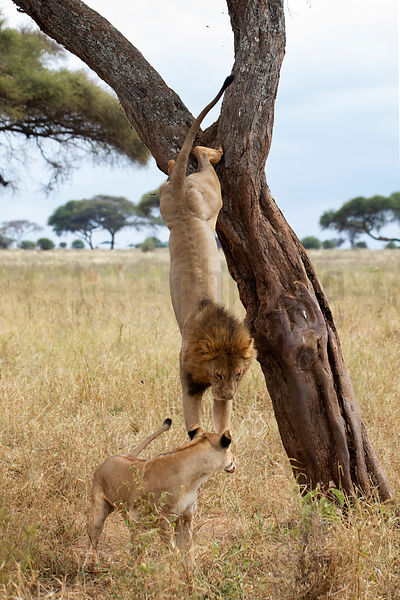 Male Lion Jumping out of a Tree Following a Female in Oestrus