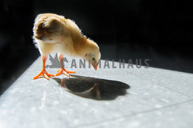 baby chick looking at his reflection on floor