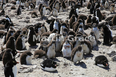 Creche of young Southern Rockhopper Penguins (Eudyptes chrysocome chrysocome), Cape Coventry, Pebble Island
