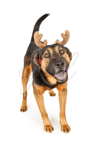 Shepherd Dog Wearing Reindeer Antlers