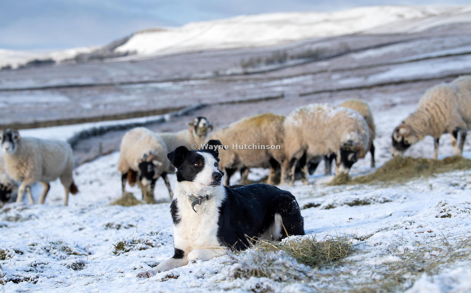 Border collie sheepdog on snow covered moorland above Askrigg in the Yorkshire Dales National Park, watching a flock of Swale...