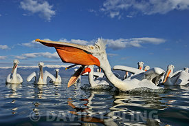 Dalmatian Pelicans Pelicanus cristatus feeding on fish at Lake Kerkini Northern Greece February
