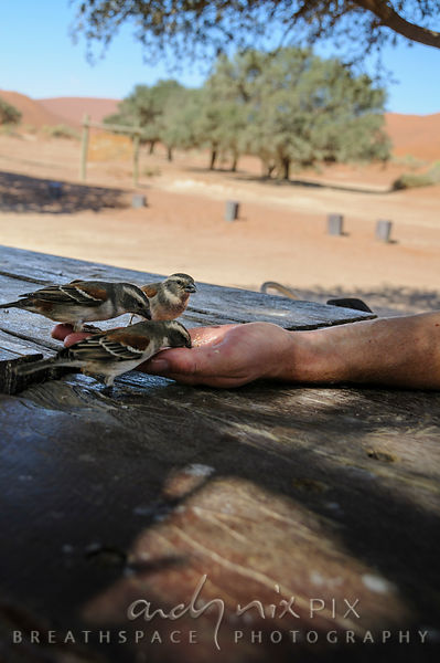 Three Cape Sparrows or mossies (Passer melanurus) feeding out of a person's hand, desert sand dunes and acacia tree in the ba...