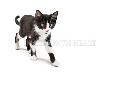 Black and White Kitty Walking on White