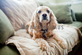 cocker spaniel laying on couch