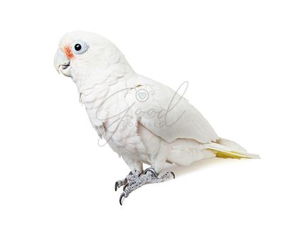 White Parrot Bird Profile - Isolated on White