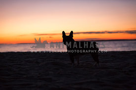 Sunset silhouette of French Bulldog at the beach