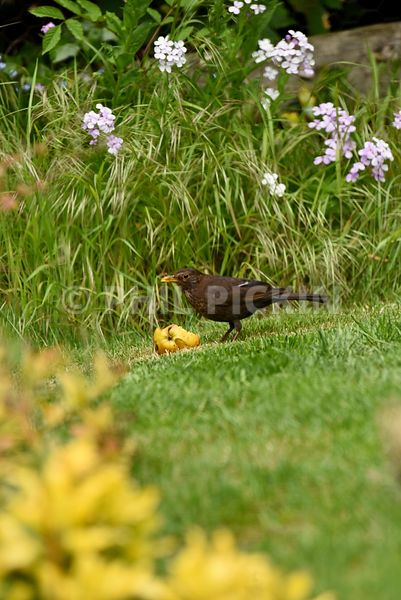 Young blackbird feeding