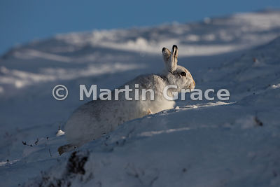 Mountain Hare (Arctic Hare) (Lepus timidus) in a shaft of late afternoon winter sun, moving away slowly from its form in the ...