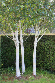 Group of Betula utilis var. jacquemontii by yew hedge. Parkhead, Roseneath, Helensburgh, Dumbartonshire, Scotland, UK