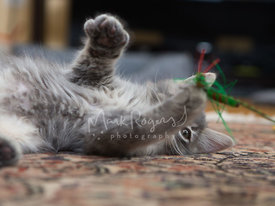 Close-up of grey kitten playing with green cat toy