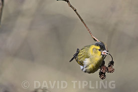 Eurasian Siskin Spinus spinus male feeding on Alder Minsmere Suffolk late winter