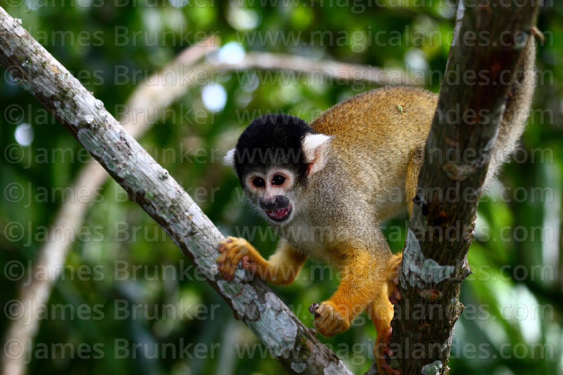 Black-capped squirrel monkey ( Saimiri boliviensis )