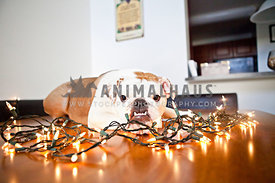bulldog laying on table with christmas lights