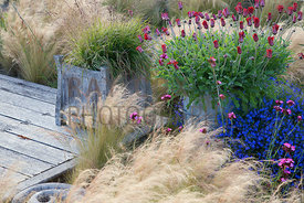 Planting by decking including ornamental grasses, arctotis, Stipa tenuissima