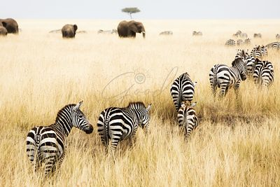 Line of Zebra in Grass of Kenya