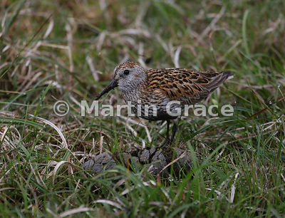 Dunlin (Calidris alpina) feeding on sheep faeces, Hermaness National Nature Reserve, Unst, Shetland: Image 6 of a sequence of 6