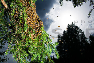 Honeybees (Apis mellifera) swarming