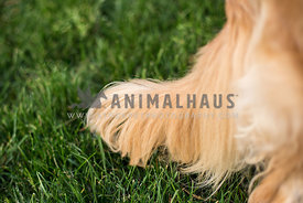 Close up of Golden Retriever tail in the grass