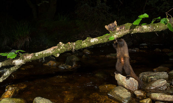 Success! A Pine Marten is seen sniffing out the log...