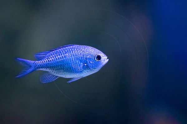 Demoiselle bleu-vert  - Blue green Damselfish (Chromis viridis)
