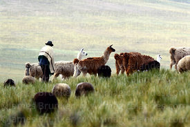 Local man herding llamas on hillside, Cordillera de Sama Biological Reserve, Bolivia