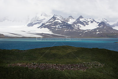 Prion Island, South Georgia, with Gentoo Penguin (Pygoscelis papua) colony in foreground