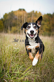 dog running towards camera in field with tall grass