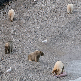 Polar bear (Ursus maritimus) group on beach, one with carcass, also Glaucous gulls (Larus hyperboreus) Wrangel Island, Far Ea...