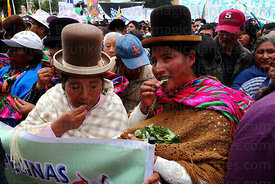 Aymara women chewing coca leaves ( Erythroxylum coca ) at an event to celebrate Bolivia rejoining the 1961 UN Convention , La...