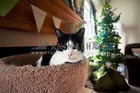 Tuxedo cat lounging in front of Christmas tree