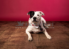 black eye patch pit mix with tie in studio red background