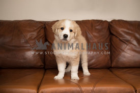 tan and white puppy standing on brown leather couch