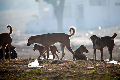 A pack of wild dogs in early morning, Pushkar, Rajasthan, India