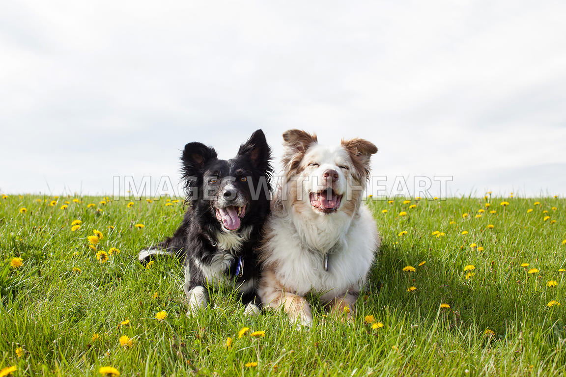 Two Dogs Lying Down in Grass and Dandelions