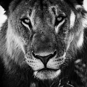 6287-Lioness_after_the_hunt_Laurent_Baheux