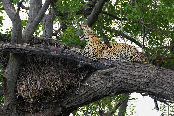 Yawning Leopard on a Limb Next to a Hamerkop Nest