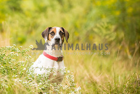 Hound mix dog sits looking sad in a field of tall grass
