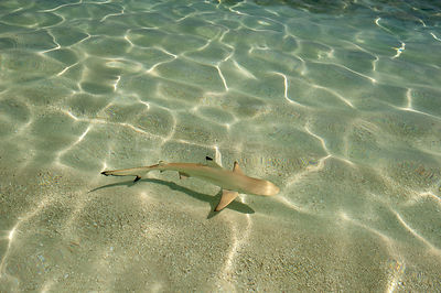 Blacktip reef shark (Carcharhinus melanopterus) juvenile swimming  over sand seabed along shoreline in shallow water, Maldive...